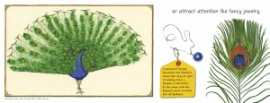 "A layout from the book ""Feathers, Not Just for flying."" The picture shows a peacock with its tail raised and a closeup of one tail feather."