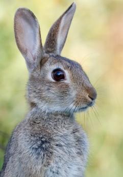 listening-bunny