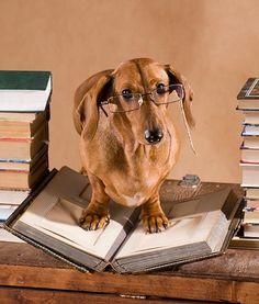 studious-dog